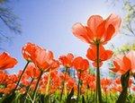 Двести тысяч тюльпанов представят на выставке цветов в Киеве