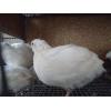 инкубационное яйцо продам