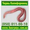красный калифорнийский червь,    червь старатель для производства биогумуса